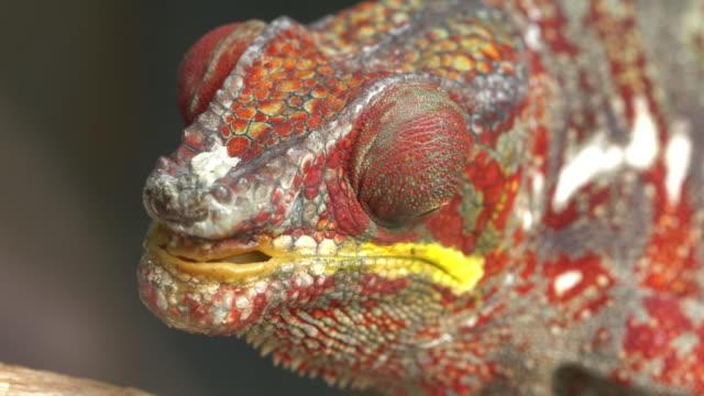 vidéos et rushes de portrait caméléon-caméléon panthère (furcifer pardalis) - caméléon