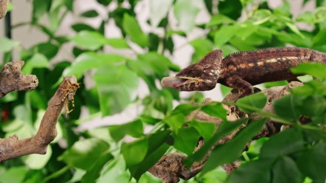 slo moカメレオンは舌でその獲物をパンチ - 色が変わる点の映像素材/bロール
