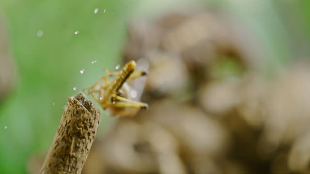 super slo mo chameleon punching its prey with tongue - insect stock videos & royalty-free footage