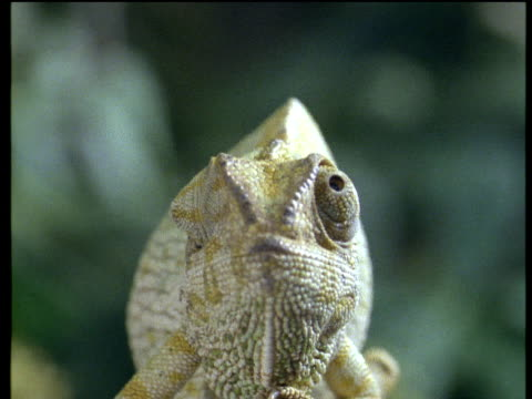 chameleon rolls its eyes around while facing the camera - extreme close up stock-videos und b-roll-filmmaterial