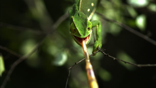 A chameleon shoots its sticky tongue and grabs an insect.
