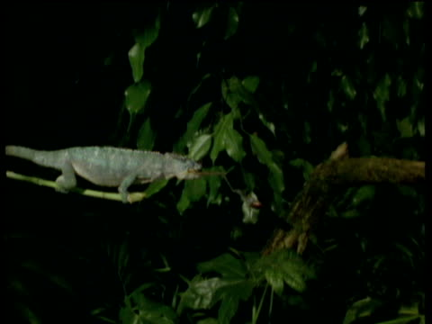 chameleon sits on branch and catches prey with tongue - maul stock-videos und b-roll-filmmaterial