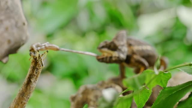 vidéos et rushes de super slo mo chameleon piège une sauterelle - caméléon