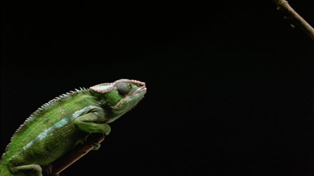 SLO MO CU Chameleon sticking out tongue and grabbing insect