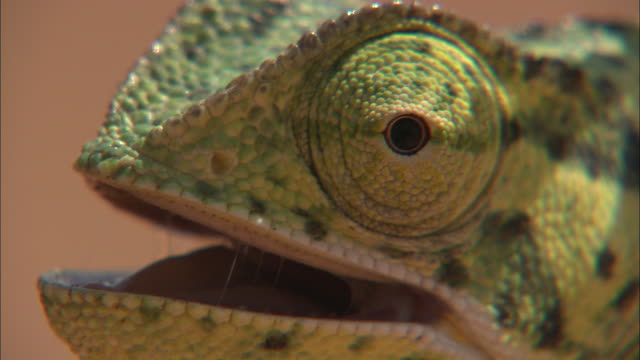 a chameleon uses its stereoscopic eye. - three dimensional stock videos & royalty-free footage