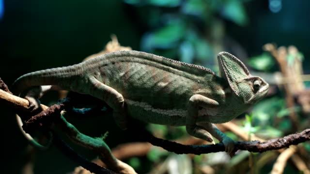 vidéos et rushes de un caméléon - reptile