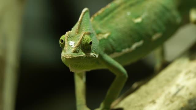 vidéos et rushes de caméléon - caméléon