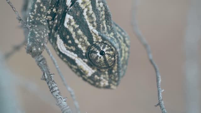 vídeos de stock e filmes b-roll de chameleon - one animal