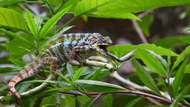 chameleon - madagascar stock videos & royalty-free footage