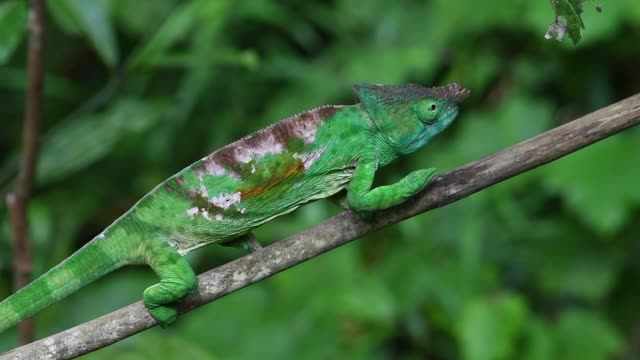 chameleon - camouflage stock videos & royalty-free footage