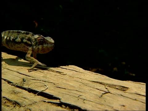 vídeos y material grabado en eventos de stock de ms chameleon walking cautiously - incertidumbre