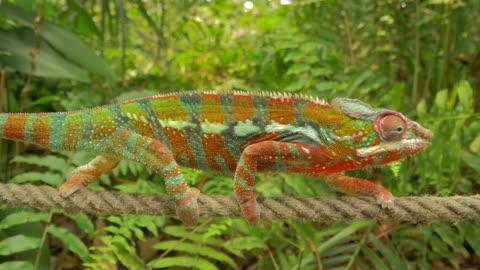 chameleon walking on rope in natural forest environment - kamouflage bildbanksvideor och videomaterial från bakom kulisserna