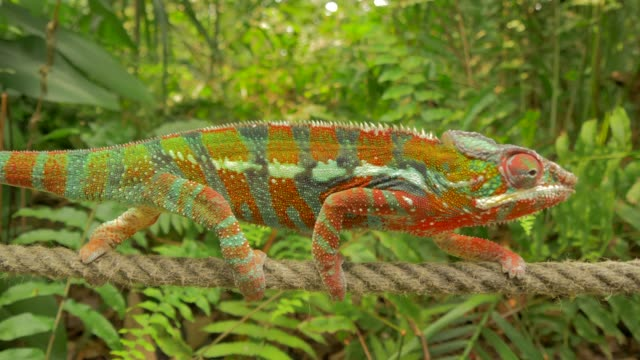 chameleon walking on rope in natural forest environment - kamouflage bildbanksvideor och videomaterial från bakom kulisserna