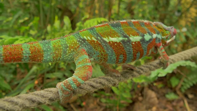 chameleon walking on rope in natural forest environment - tarnung stock-videos und b-roll-filmmaterial