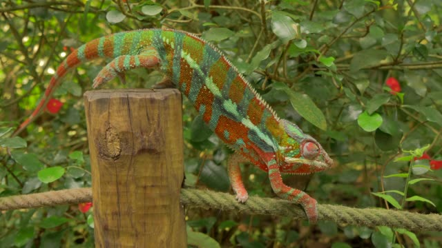 chameleon walking on rope in natural forest environment - カメレオン点の映像素材/bロール