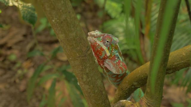 chameleon walking on rope in natural forest environment - disguise stock videos & royalty-free footage