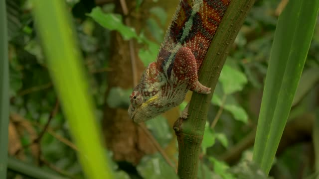 vídeos de stock e filmes b-roll de chameleon walking on rope in natural forest environment - tropical