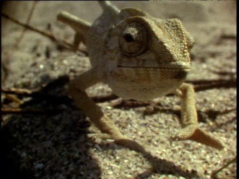 vidéos et rushes de chameleon walks slowly towards camera across desert rolling his eyes - partie du corps d'un animal