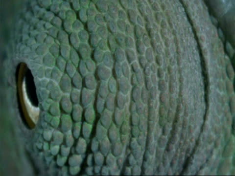 ECU Chameleons eye, pupil dilating, Botswana, Africa