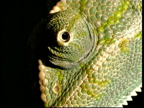 bcu chameleon's eye rotating, israel - scaly stock videos & royalty-free footage