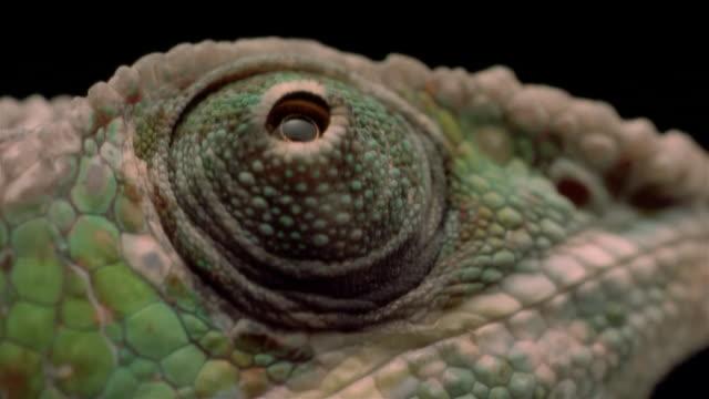 vidéos et rushes de ecu, chameleon's eye  - caméléon