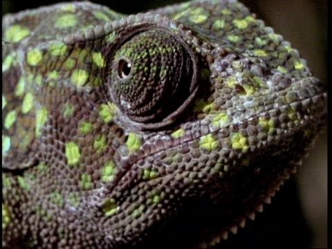 bcu chameleons eye - tierhaut stock-videos und b-roll-filmmaterial