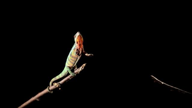 vidéos et rushes de chamäleon - caméléon