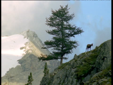 vídeos de stock, filmes e b-roll de chamois antelope walks away from tree on mountainside in alps, italy - camurça