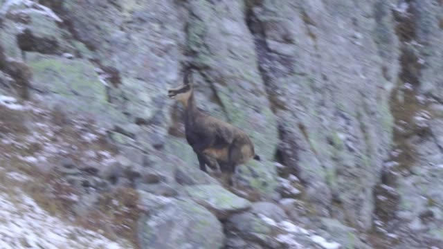 chamois (rupicapra rupicapra) - european alps stock videos & royalty-free footage