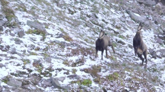 chamois department (rupicapra rupicapra) - european alps stock videos & royalty-free footage