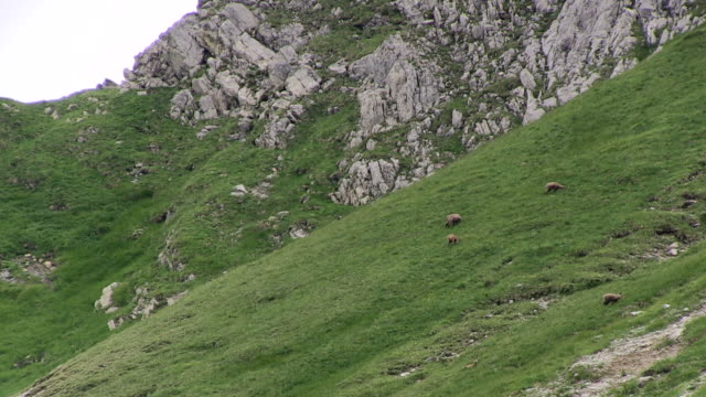 vídeos de stock, filmes e b-roll de ws chamois eating grass  at nebelhorn / oberstdorf, bavaria, germany  - camurça