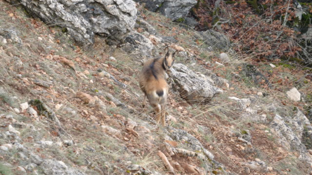 Chamois in the mountains (Rebeco)