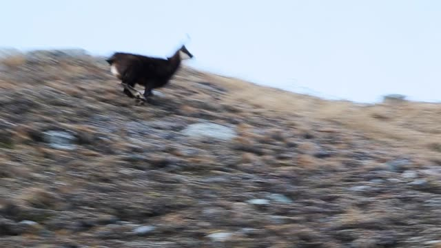 vídeos de stock, filmes e b-roll de chamois running free and jumping in the gran paradiso national park. - camurça