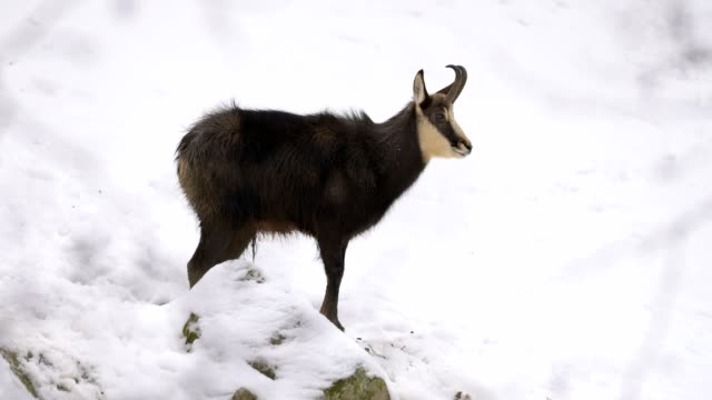 vídeos y material grabado en eventos de stock de chamois, rupicapra rupicapra, in winter - mamífero ungulado