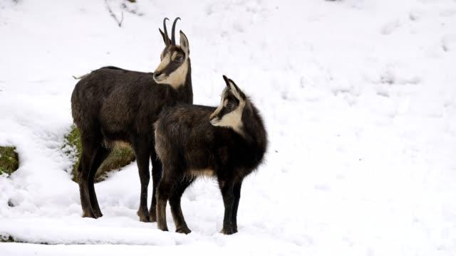 vídeos y material grabado en eventos de stock de chamois, rupicapra rupicapra, two animals in winter - mamífero ungulado