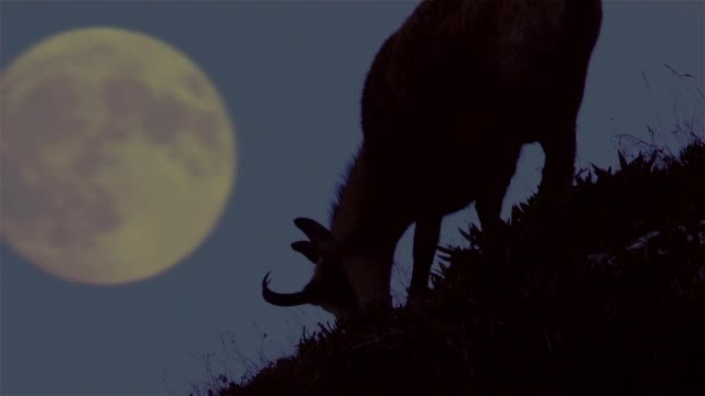 vídeos y material grabado en eventos de stock de rebeco (rupicapra rupicapra) - animales acechando