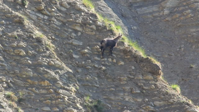 chamois 徒歩での hd - ヤギ点の映像素材/bロール