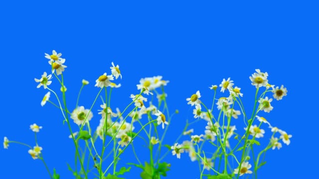 chamomile flowers blooming - flower head stock videos & royalty-free footage