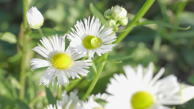 chamomile plants, tranquil natural background - uncultivated stock videos & royalty-free footage