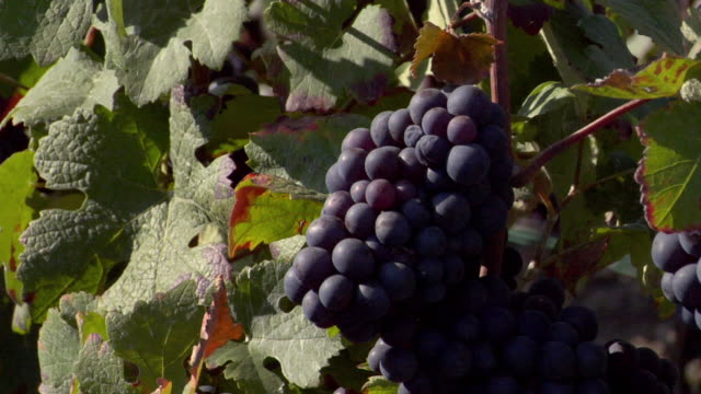 CU Champagne grapes growing in vineyard / Epernay, Champagne Ardennes, France