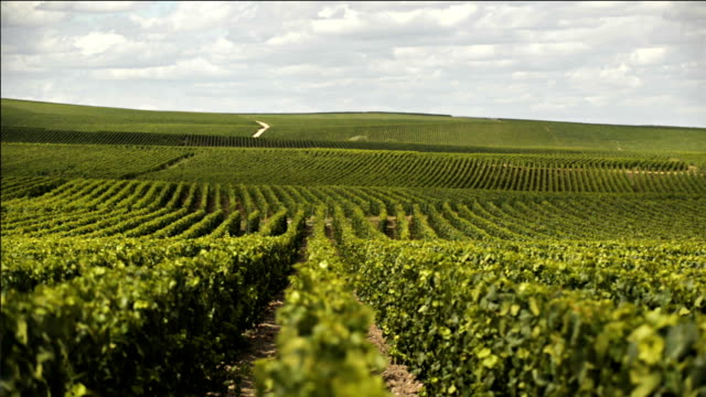 Champagne vineywards on The Côte des Blancs, near Epernay