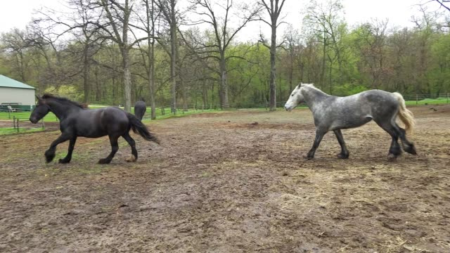 vídeos de stock e filmes b-roll de chance, hopscotch and roulette are not happy that their owner separated them temporarily from their herd mates, but one just had a foal. she needed... - jogo da macaca