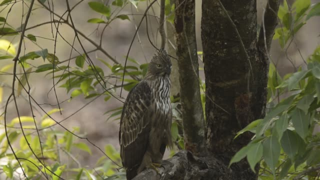 Changeable Hawk eagle resting in shade on a hot summer day inside bandhavgarh national park during a wildlife safari