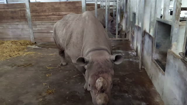 chanua the black rhino, living at flamingo land zoo as part of a conservation project, she is soon to be moved to her ancestral home of tanzania - animal themes stock videos & royalty-free footage