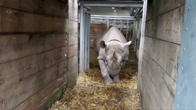 chanua the black rhino, receiving crate training, at flamingo land zoo, north yorkshire, to prepare her for her move to tanzania as part of a... - box container stock videos & royalty-free footage