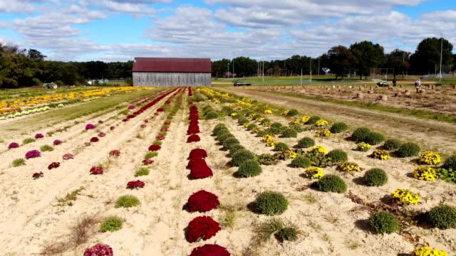 vídeos y material grabado en eventos de stock de charles rodney walks across a field full of blooming mums on october 24 2018 in prince frederick maryland - crisantemo