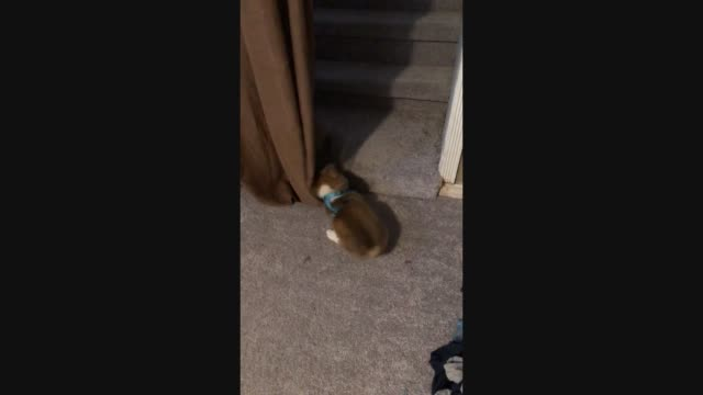 charlie the cat absolutely loves to enforce play with milo the corgi, but gets mad when milo tries to play with him. typical cat behavior! - sorghum stock videos & royalty-free footage