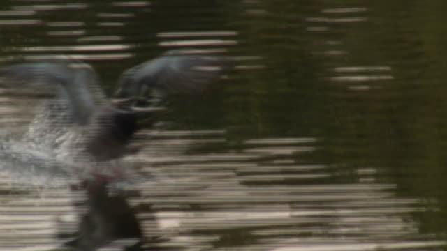 シャーロッテンブルグマラード 2 -hd 1080 /60 i - 鳥 カモ点の映像素材/bロール
