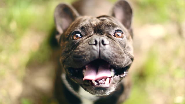 charming french bulldog - dog stock videos and b-roll footage