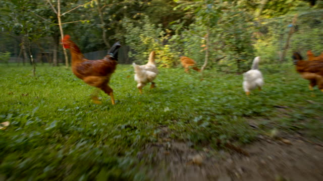 ws chasing hens and a rooster - hen stock videos & royalty-free footage